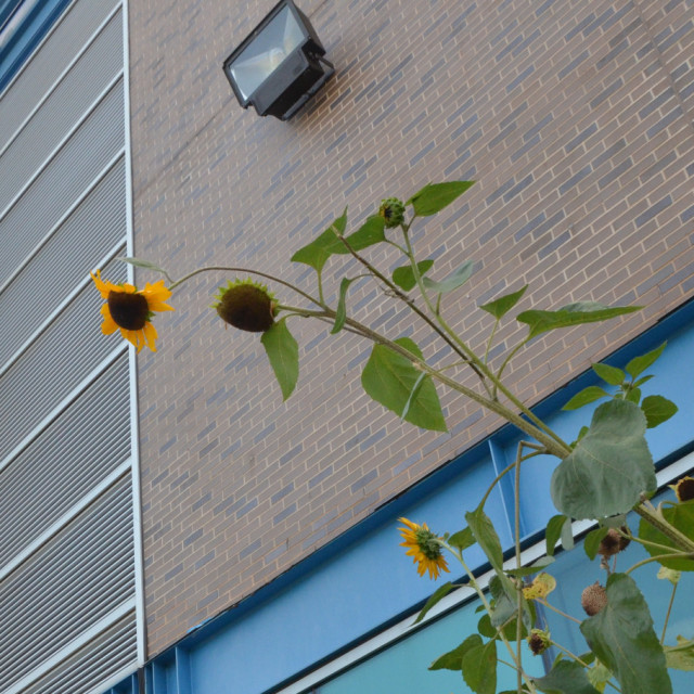 Sunflowers outside of Student Services Building