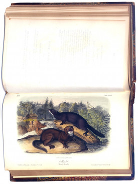 "Plate 33 of ""Viviparous Quadrupeds of North America"" by John James Audubon, 1851"